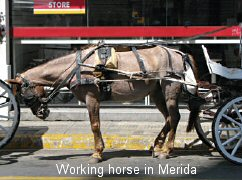 working horse in Merida