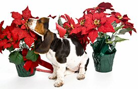 image:  dog with poinsettia